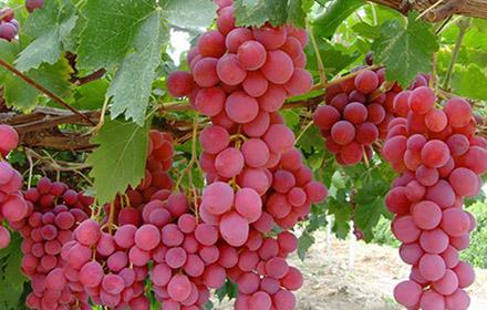 sonnik-vinograd