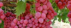 zarya org ua zemledelie 05 - Виноград - органическое удобрение