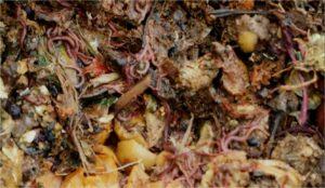 chervyachki lakomyatsya fermentirovannymi pishhevymi othodami