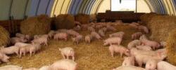 zarya org ua jivotnye 09 - Глубокая ферментационная подстилка для содержания сельскохозяйственных животных