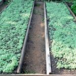 gryadki s gorchicej 650x506 1 150x150 - Семена ГОРЧИЦА удобрение сидерат