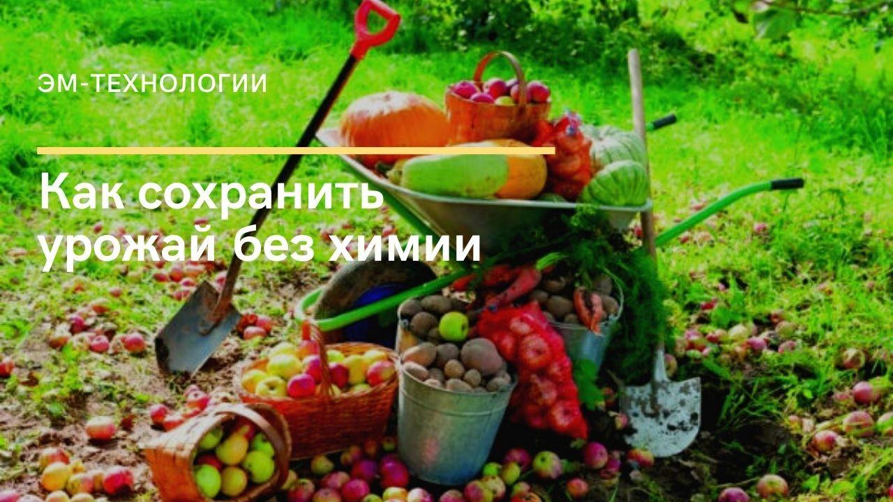 urozhaj 6xo0zo0k52bizqd92j6zi404z2m6adj721bak8hhgsw - ЭМ-технологии.  Как сохранить урожай без химии.