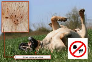 diatomit debuzzer 8 300x204 - ДИАТОМИТ ДЕБУЗЕР био-инсектицид для растений и животных + восстановитель почвы
