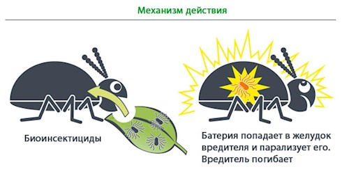 belokrylka - методы эко-борьбы с БЕЛОКРЫЛКОЙ в природном земледелии